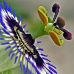"""passion flower"" by kliffklegg"