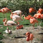 """Flamingos at the National Zoo, Washington DC"" by RogerPhotos"