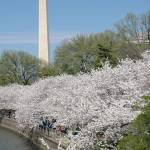 """Washington DC Cherry Blossoms"" by RogerPhotos"