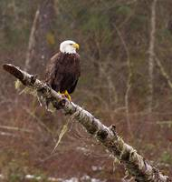 Rainy Day Eagle.