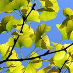 """Golden Ginkgo."" by ToddRollins"