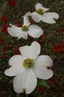 3 Dogwood Blossoms - Vertical
