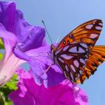 """Beautiful Butterfly on Beautiful Morning Glory"" by JeanDandy"