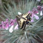 """Swallowtail Butterfly Rescued by the Pacific"" by JeanDandy"