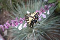 Swallowtail Butterfly Rescued by the Pacific