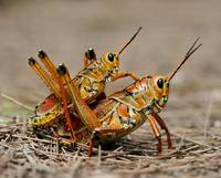 Eastern Lubber Grasshoppers mating