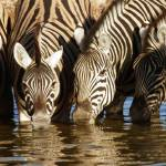 """Zebras drinking"" by MichaelPoliza"