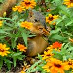 """Squirrel In Marigolds 05"" by flowerswithfeelings"