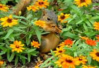Squirrel In Marigolds 05