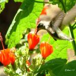 """Hummingbird Drinking From Turks Cap 04"" by flowerswithfeelings"