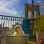 """New York Bulldog"" by nickseal"