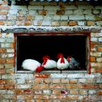 """Chooks in a shed, Lestenes, Latvia"" by Jek"