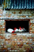Chooks in a shed, Lestenes, Latvia