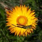 """""""Alpine daisy"""" by Jek"""