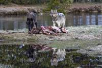 Two Wolves Reflection -Yellowstone National Park