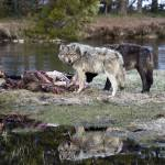 """Reflection Two Wolves - Yellowstone"" by the-hole-picture"