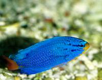 Blue Devil Damselfish Tropical Fish