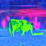 """""""Soldatenwiel met koe, en drinkend kalf"""" by petervandelavoir"""
