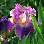 """Sun Kissed Purple Iris 04"" by flowerswithfeelings"