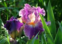 Sun Kissed Purple Iris 04