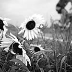"""Sunflower Ride 9.9.2006"" by notleyhawkins"