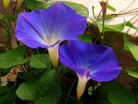 morning glory pair