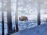 Yellowstone Winterscape: Buffalo
