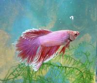 Red and White Male Betta Fish