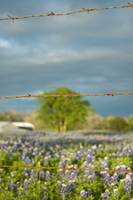 Barbed Wire and Flowers