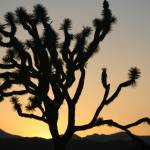 """Joshua Tree Sunset"" by carloslopezdrums"