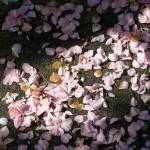 """Scattered Camellia Petals Touched by Sun"" by iMage07"