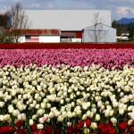 """Tulips-USA-11x14-"" by Brendapike"