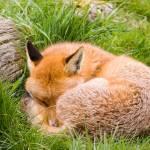 """The Sleeping Fox"" by Simongrenfell"