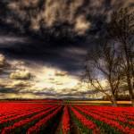 """""""Tulips and Sky"""" by kjellarsen"""