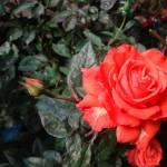 """ROSE"" by Emilia"