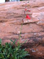 penstemon and sandstone