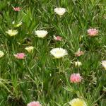 """Caesarea Spring flowers"" by sueinhaifa"
