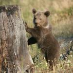"""Grizzley Bear Cub"" by MarkWells"