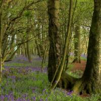 Bluebell Wood Pathway Art Prints & Posters by Colin Bailey