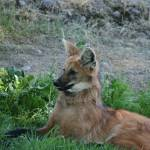 """South American Maned Wolf"" by JWCallahan"