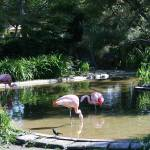 """Greater Flamingos"" by JWCallahan"