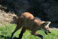 South American Maned Wolf