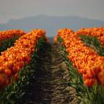 """Skagit County Tulips of Washington State: Orange C"" by studio_narvaez"