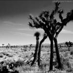 """""""The Tree and The Mojave"""" by coxy"""
