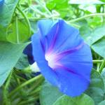 """Blue Morning Glory With Pollen"" by Elasia"