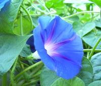 Blue Morning Glory With Pollen