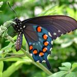 """Spicebush Swallowtail"" by lollie"
