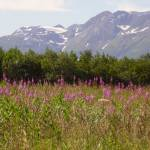 """Fireweed Field."" by PerryPullen"