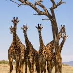 """Giraffes under trees"" by MichaelPoliza"