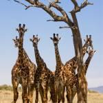 """Giraffes under trees"" by MichaelPoliza"